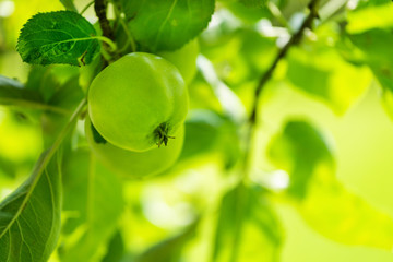Green apple fruits on the tree at garden in summer time.