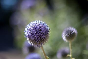 purple allium blossom with shallow depth of field