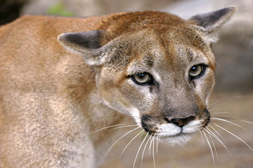 Eyes of a Mountain Lion, Cougar portrait close up