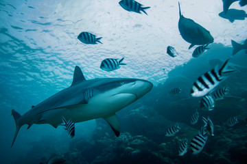 Wall Mural - grey reef shark