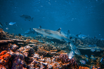 Wall Mural - Whitetip reef sharks in natural habitat