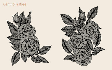 Centifolia rose lace vector set by hand drawing.Beautiful flower on brown background.Rose lace vector art highly detailed in line art style.Centifolia rose for wallpaper