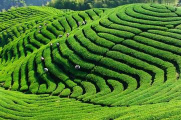 Tea pickers working in the Nantou Tea Garden, Nantong, Taiwan, China, Asia