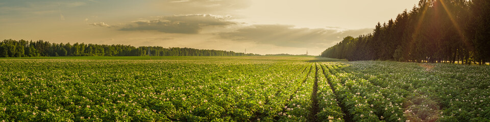summer agricultural landscape. potato field in the rays of the setting sun