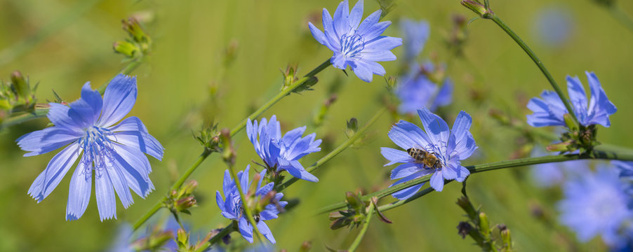 Chicory flower (Cichorium intybus) close up on a green blurred background