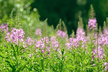 Pink flowers of fireweed (Epilobium or Chamerion angustifolium) in bloom ivan tea. Flowering willow-herb or blooming sally