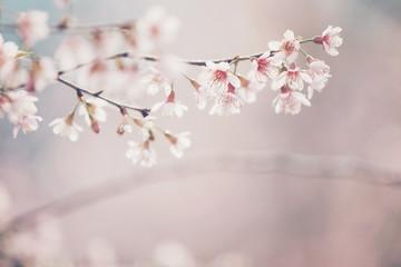 Cherry blossom flowers , sakura flowers in pink background vintage style