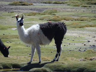 Lama/Llama at the marshlands of the Bolivian altiplano near the Uyuni Salt Flat (Salar de Uyuni), Bolivia, South America