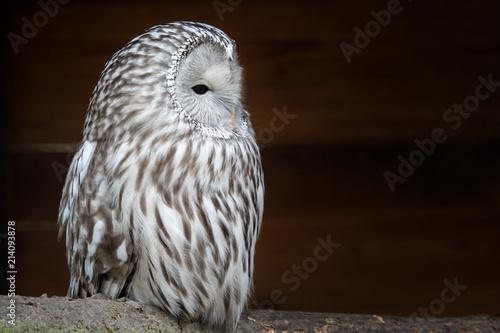Image of: Great Horned Ural Owl strix Uralensis Nocturnal Owl On Black Background Fotoliacom Ural Owl strix Uralensis Nocturnal Owl On Black Background