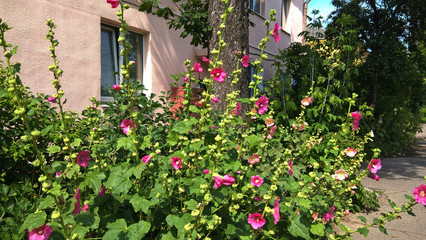 bushes mallow on a bright sunny day Minsk, Belarus