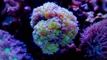 Frogspawn lps coral in reef aquarium tank