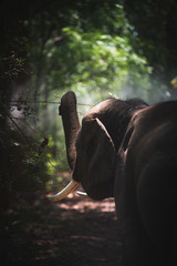 Elephant in the jungle of Asia, Thailand