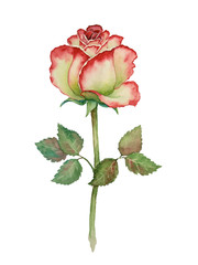 watercolor rose on white background