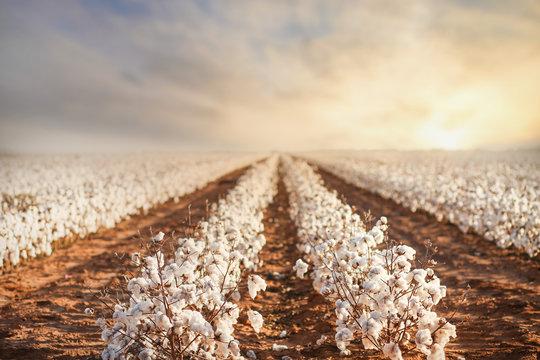 Cotton Field in West Texas