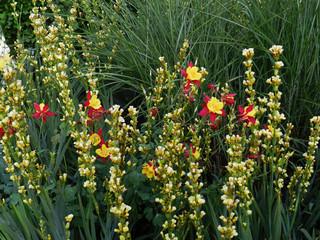narciso giallo e rosso