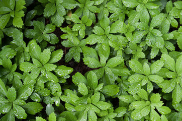 pachysandra green foliage nature backdrops