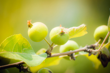 Young green apples on a branch