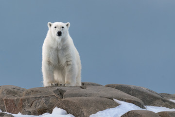 Tuinposter Ijsbeer Polar Bear Watching
