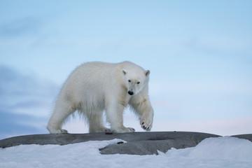 Polar Bear in the Wild!