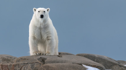 Foto auf AluDibond Eisbar Polar Bear in the Wild!