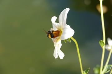 bumblebee, hummel