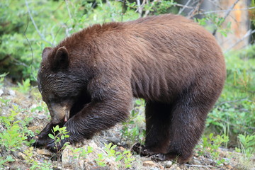 American black bear (Ursus americanus) Kanada