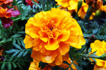 Flowers Tagetes Patula Marigold in garden in a summer season