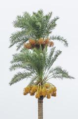 Date palm tree bearing fruit