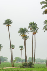 Date palm trees in a field