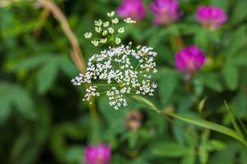 yarrow, milfoil, vervain close up, macro
