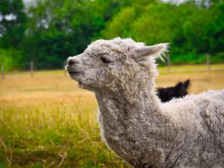 Alpaka auf einer Weide in den Niederlande