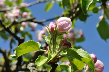 detail view, apple flower trees