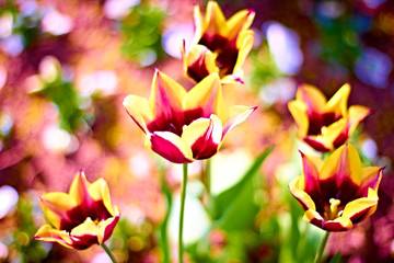 beautiful delicate tulips