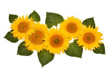 Flower arrangement sunflower bouquet with leaves isolated on white background. Agriculture, farmer. Beautiful still life floral. Seeds and oil. Flat lay, top view