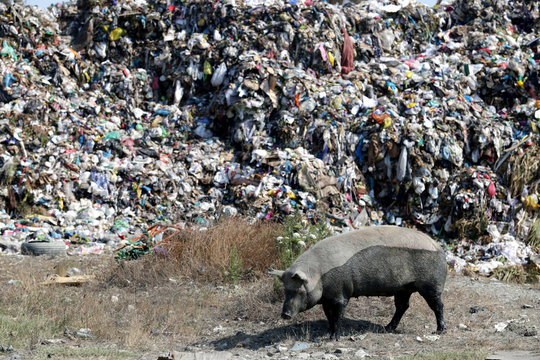 Pig is pictured in front of a pile of rubbish at a landfill of Porto Romano in Durres