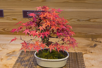 Bonsai tree  - Japanese maple