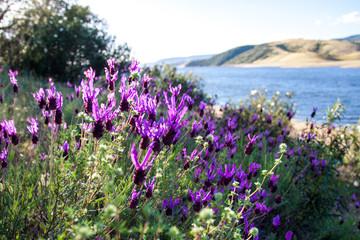 wilder Schopf-Lavendel, Lavendel aus Spanien Extremadura
