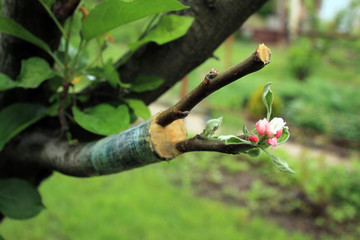 Live cuttings at grafting apple tree with growing leaves and flowers.