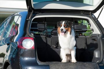 Australian Shepherd im Kofferraum eines Autos