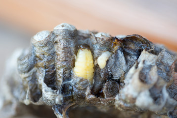 Wespenlarve in einem Wespennest