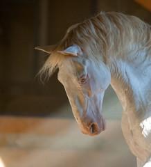 lusitano horse portrait iindoors