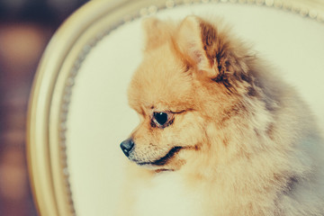 Cute Pomeranian dog with red hair like a fox resting on the chair after shearing. Toned image.