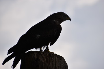 Silhouette of a black eagle on a sunny summer day in Germany