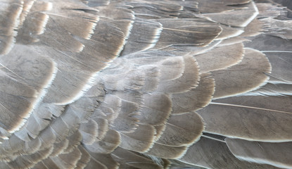 Close up layer of Goose Feathers