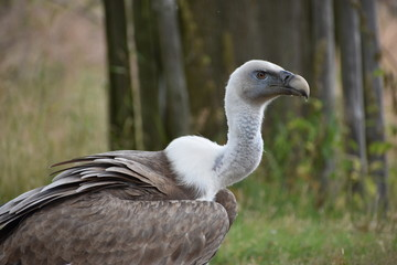 Closeup of a beautiful vulture sitting on a tree trunk in a park in Germany