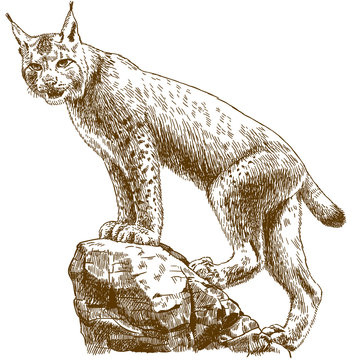 engraving illustration of lynx linx