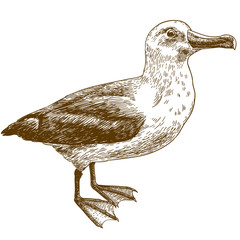 engraving drawing illustration of black browed albatross