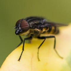 Locust Blowfly