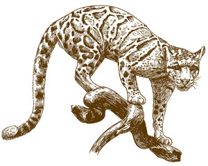 engraving drawing illustration of clouded leopard