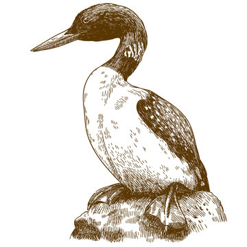 engraving drawing illustration of great northern loon
